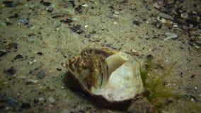 Pugilator pequeno de Diogenes do caranguejo de eremita no shell do venosa de Rapana filme