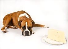 Pugile con formaggio Immagine Stock Libera da Diritti