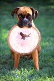 Pugile con il frisbee Immagine Stock Libera da Diritti