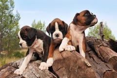 Pugile dei cuccioli Immagine Stock Libera da Diritti