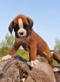 Pugile del cucciolo Immagine Stock Libera da Diritti