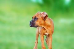 Pugile del cucciolo Immagini Stock
