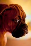 Pugile tedesco - cane di cucciolo triste Immagini Stock Libere da Diritti