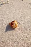 Pugilis Strombus θαλασσινών κοχυλιών πάλης conch σε μια άσπρη παραλία άμμου Στοκ Φωτογραφίες