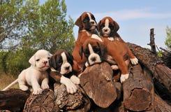 Pugilista de cinco filhotes de cachorro Imagens de Stock