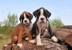 Pugilista dos filhotes de cachorro Fotos de Stock Royalty Free