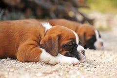 Pugilista dos filhotes de cachorro Foto de Stock Royalty Free