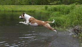 Pugilista misturado da raça, labrador retriever, cão azul do curandeiro Foto de Stock
