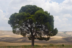 Between Puglia and Basilicata (Italy): tree Royalty Free Stock Photo
