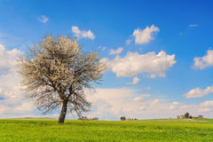 Between Puglia and Basilicata: spring landscape with wheat field.ITALY.Lone tree in bloom over corn field unripe. Stock Images