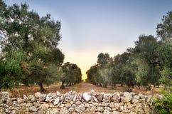 Puglia, Italy, Olive trees Stock Image