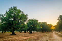 Puglia, Italy, Olive trees Stock Images