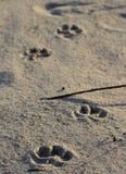Pugmarks собаки в песке пляжа Стоковое Изображение RF