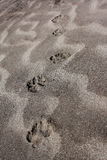 Pugmarks Royalty Free Stock Photos