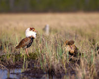Pugnacious handsome 4. Ruffs fight in swamp. Royalty Free Stock Photography