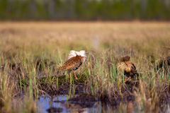 Pugnacious handsome 4. Ruffs fight in swamp. Royalty Free Stock Photo