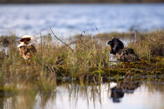 Pugnacious handsome 4. Ruffs fight in swamp. Pugnacious handsome 4. Ultimate fighting. Sandpipers (waders) ruffs (Philomachus pugnax, males) fight in swamp Royalty Free Stock Image