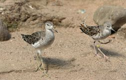 Pugnax de Calidris de Ruff, oiseau pataugeant moyen Deux oiseaux photos stock