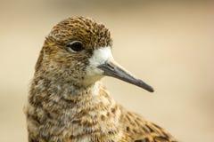Pugnax de Philomachus, oiseau d'eau Image stock