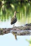 Pugnax do Philomachus Pavão-do-mar entre arvoredos pantanosos em Sibéria Imagens de Stock Royalty Free