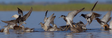 Pugnax do Philomachus/pugnax do Calidris - pavão-do-mar Fotografia de Stock
