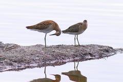 Pugnax Philomachus Птицы в одичалой природе на вечере освещают Стоковые Фото