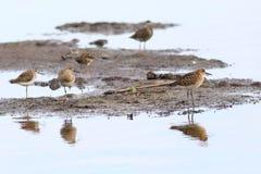 Pugnax Philomachus Птицы в одичалой природе на Yamal Стоковая Фотография