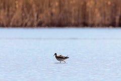 Pugnax Ruff del Philomachus dell'uccello acquatico di Ruff in acqua fotografia stock
