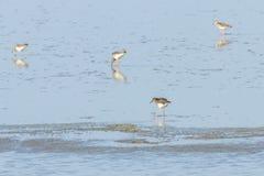 Pugnax Ruff del Philomachus dell'uccello acquatico di Ruff in acqua immagini stock