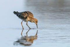 Pugnax Ruff del Philomachus dell'uccello acquatico di Ruff in acqua immagini stock libere da diritti
