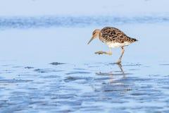 Pugnax Ruff del Philomachus dell'uccello acquatico di Ruff in acqua fotografie stock