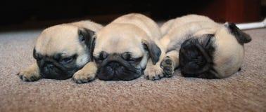 Pugs Foto de Stock