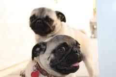 Pugs 2 Stockfoto
