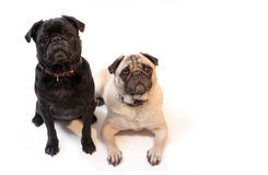Pugs Royalty Free Stock Image