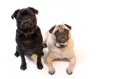 Pugs Royalty-vrije Stock Afbeelding