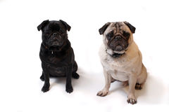 Pugs Stock Photos