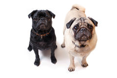 Pugs Royalty Free Stock Photography