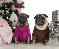 Pugs, 6 jaar en 3 jaar oud, met Kerstmis Royalty-vrije Stock Afbeeldingen