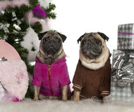 Pugs, 6 years and 3 years old, with Christmas Royalty Free Stock Images