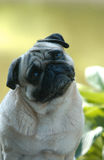 Pugs. A portrait of a joung Pugmal with a really nice expression Stock Photos