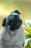 Pugs Stock Photos
