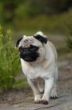 Pugs Fotografia de Stock Royalty Free