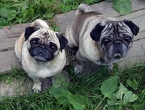 Pugs Stock Images