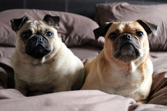 Pugs on a bed Stock Image