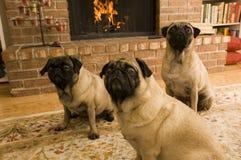 Pugs bonitos na frente do incêndio Fotos de Stock Royalty Free