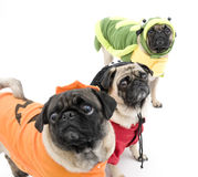 Pugs de Halloween Fotos de Stock Royalty Free