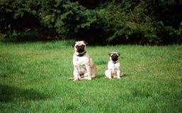 Pugs die op gazon stellen Stock Foto's