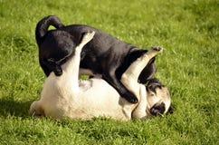 Pugs, die wieder spielen Lizenzfreie Stockbilder