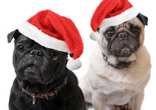 Pugs do Natal Fotografia de Stock Royalty Free