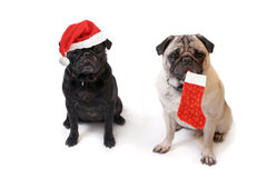 Pugs do Natal Fotografia de Stock